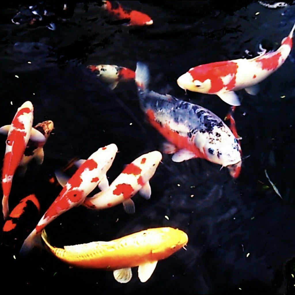マリンピアの鯉
